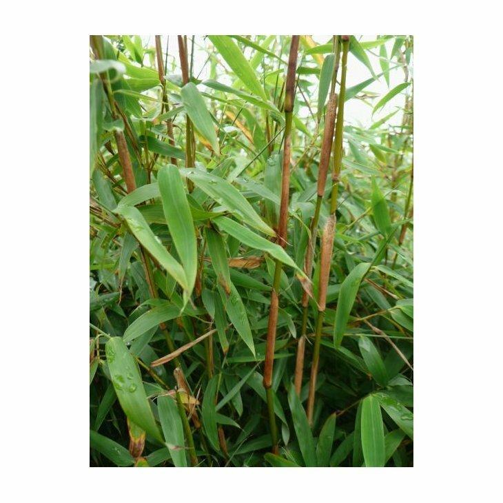 Bambus mellemhøj - Fargesia murielae 'Simba'