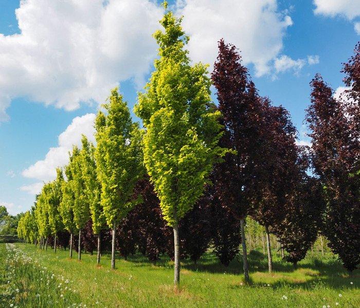 Søjletræer