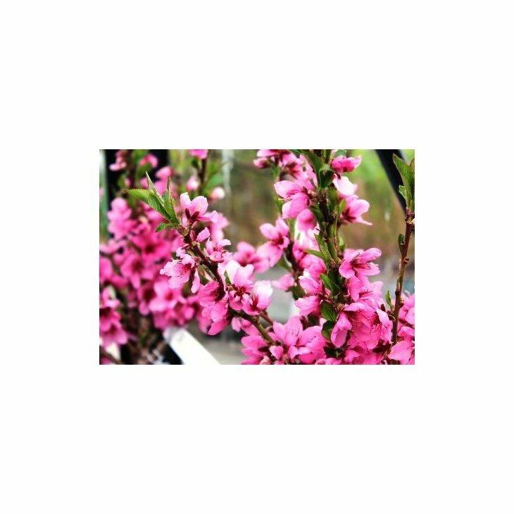 Nektarintræ Nectared