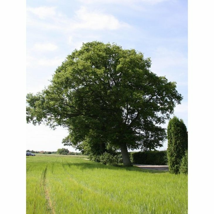 Stilkeg - Quercus robur