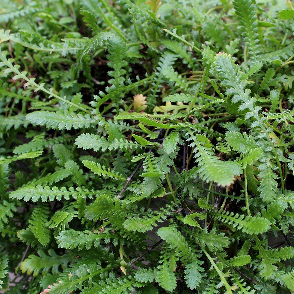 Trædebregne - Cotula dioica (Leptinella) i 9 cm potte