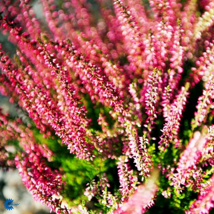 Efterårslyng - Calluna vulgaris 'Angie'