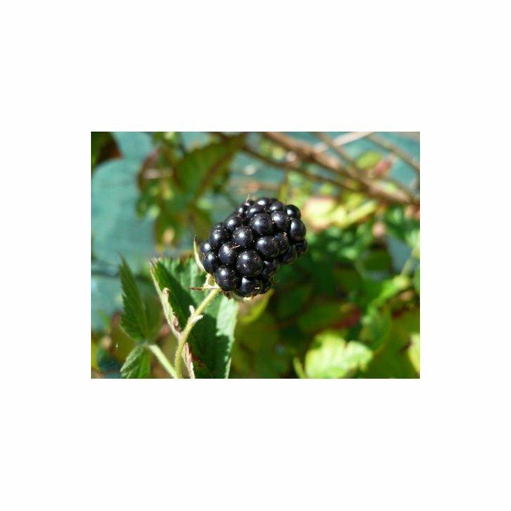 Brombærbusk - Rubus 'Loch Ness' i 2 l potte