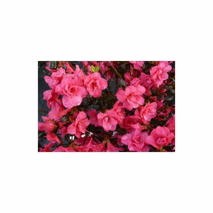 Rhododendron 'Canzonetta' i 2 l potte