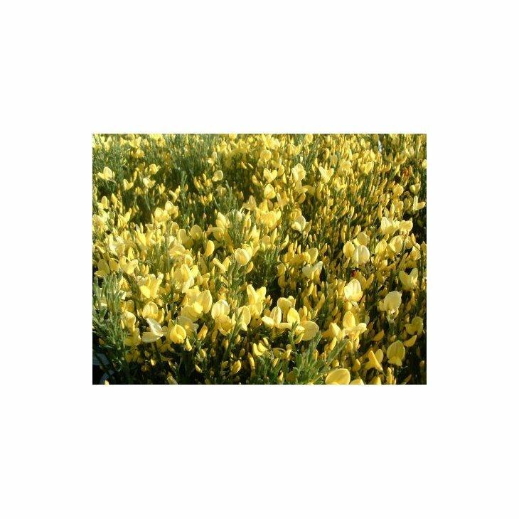 Gyvel - Cytisus praecox 'Allgold' i 5 l potte