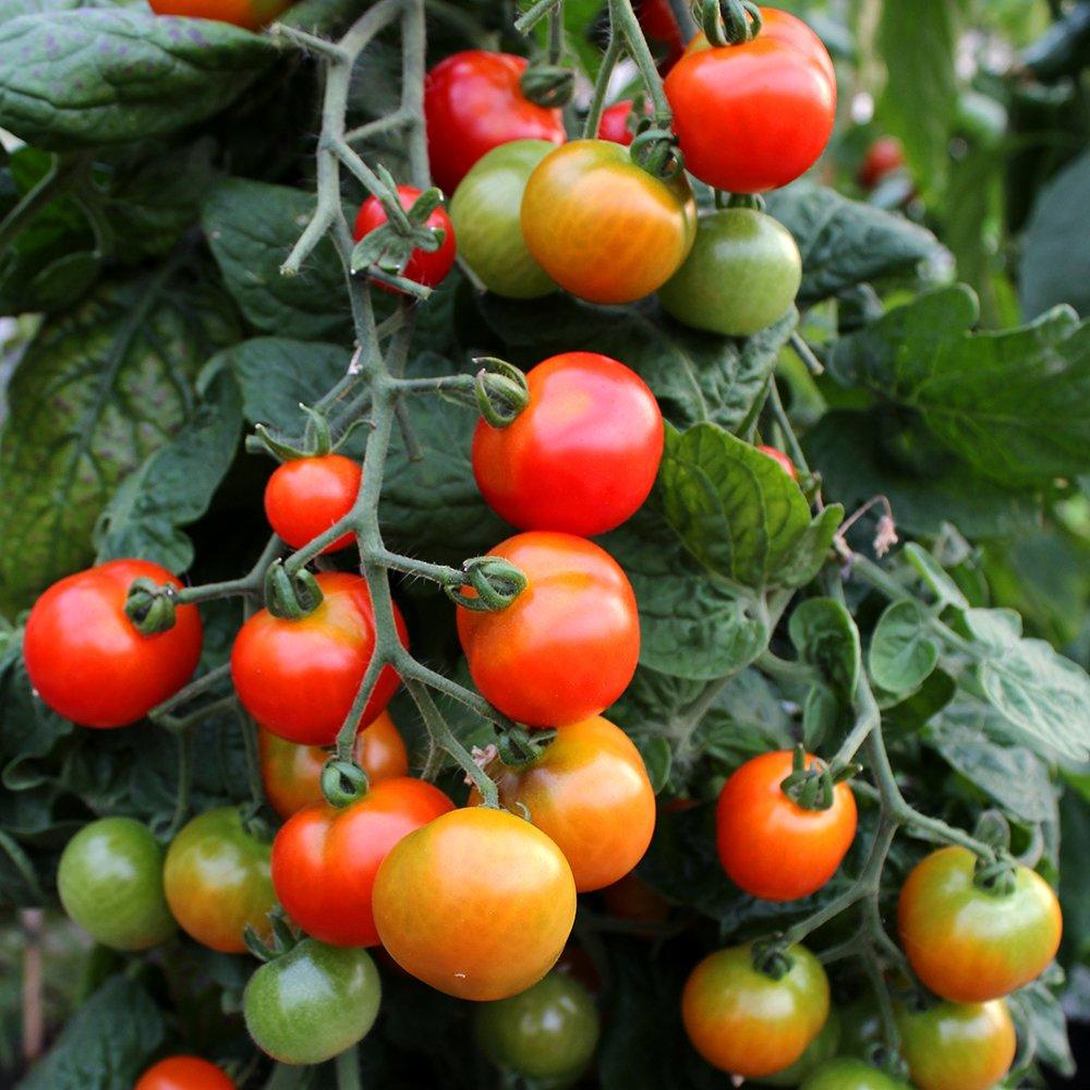 Cherry Hængetomat Romello