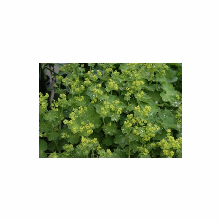 Løvefod - Alchemilla mollis i 1 l potte