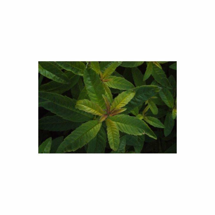 Aloysia triphylla (Lippia citriodora)