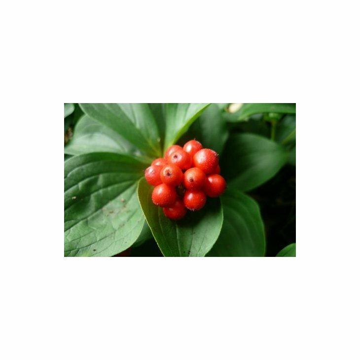 Hønsebær - Cornus canadensis' i 10 cm potte
