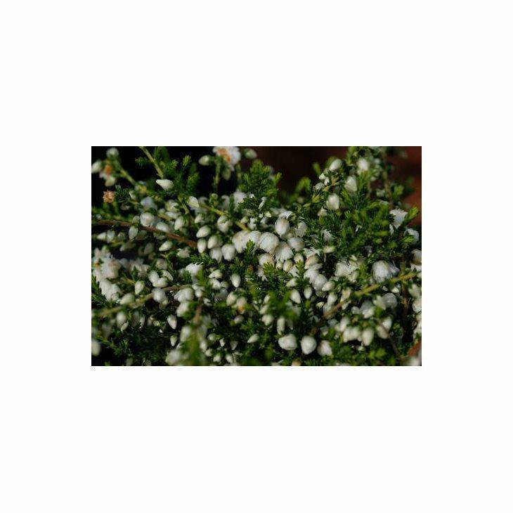 Efterårslyng - Calluna vulgaris 'Kinlochruel'