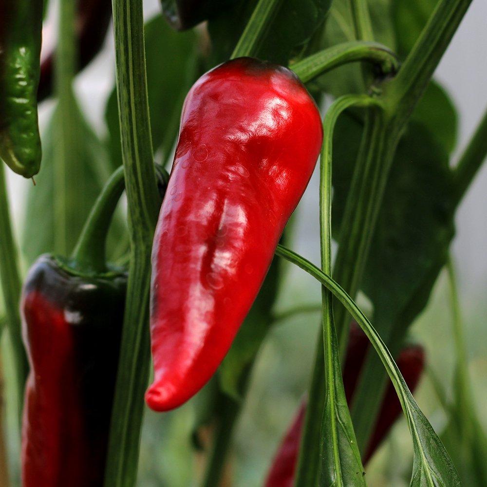 Chili Gorria, snackchili