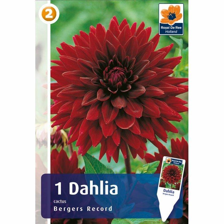 DAHLIA BERGERS RECORD CAC. (Blomsterløg)