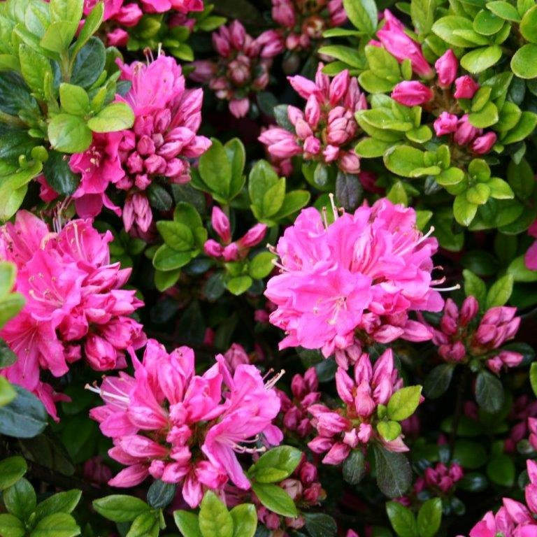 Rhododendron 'Kermesina' i 2 l potte