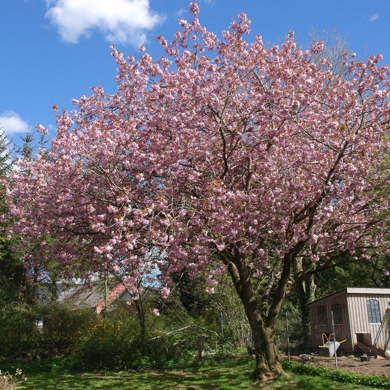 Japansk kirsebærtræ - Prunus serrula 'Kanzan'