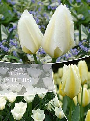 Changing Colors Tulipa Purissima 12 løg