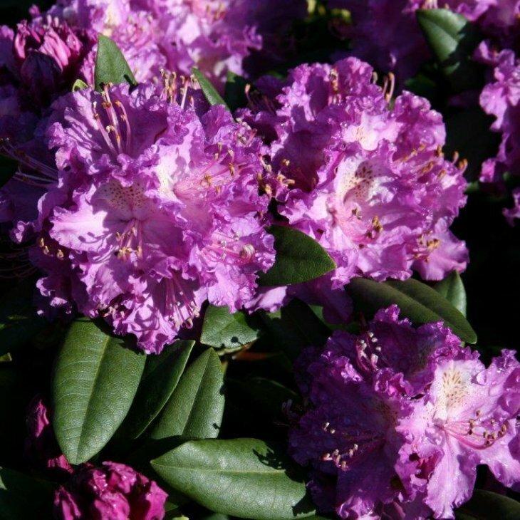 Rhododendron 'Rasputin' i 5 l potte