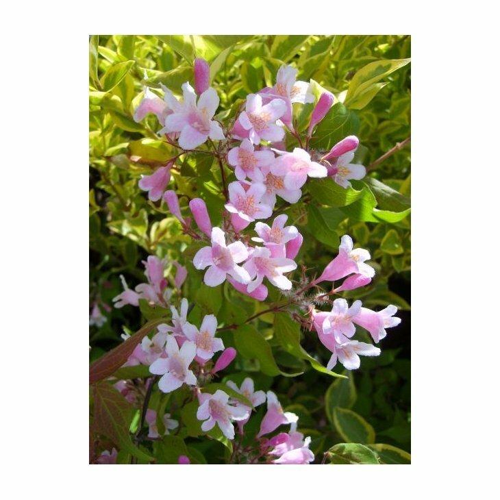 Dronningebusk lav - Kolkwitzia amabilis 'Syvdal' i 5 l potte