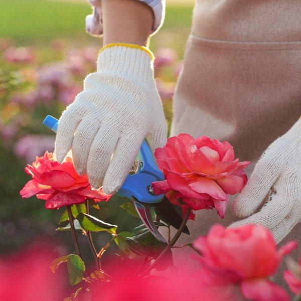 Beskæring af roser - square