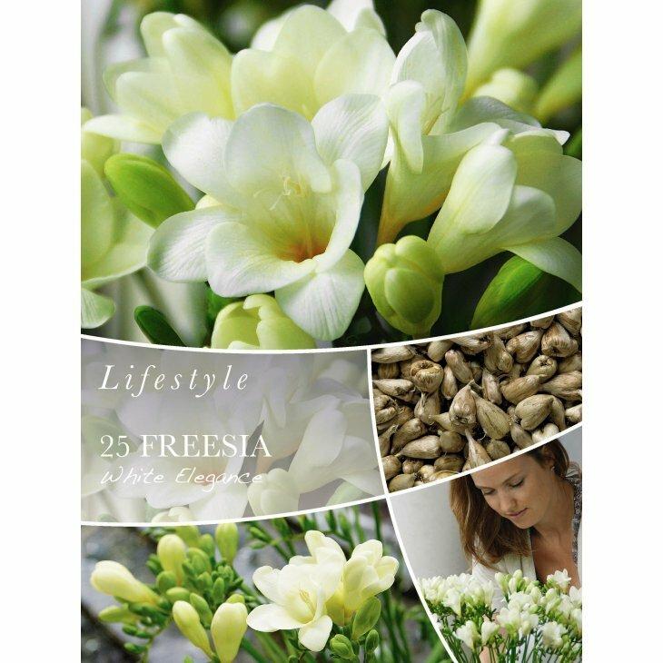 FREESIA WHITE ELEGANCE - Fresia (Blomsterløg)