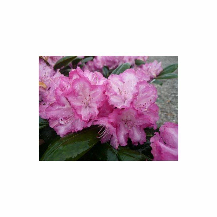 Rhododendron yak. 'Blurettia' i 5 l potte