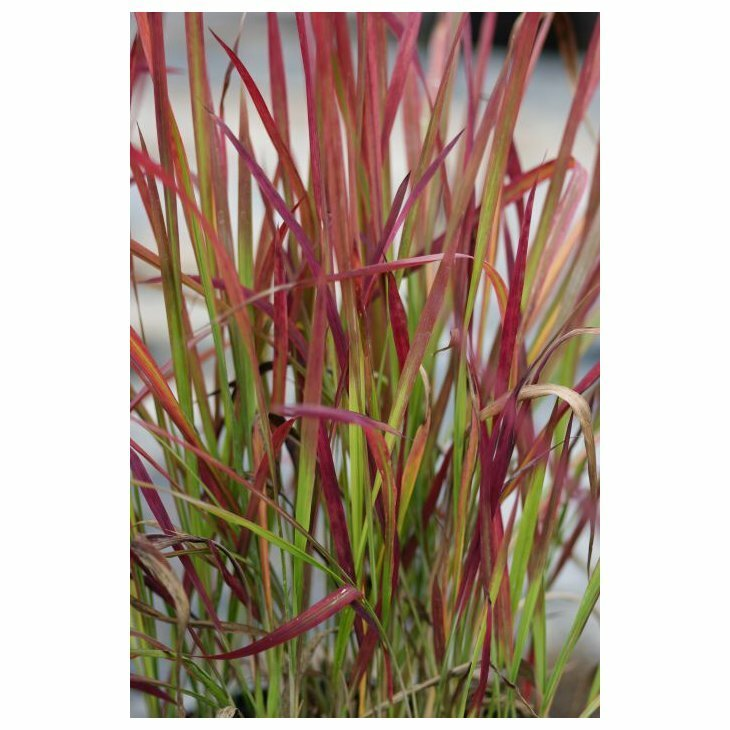 Japansk blodgræs - Imperata cylindrica 'Red Baron'