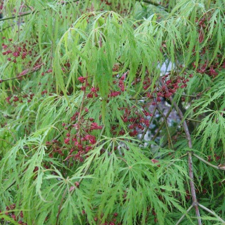 Japansk løn - Acer palmatum 'Dissectum Viride' 30-40 cm