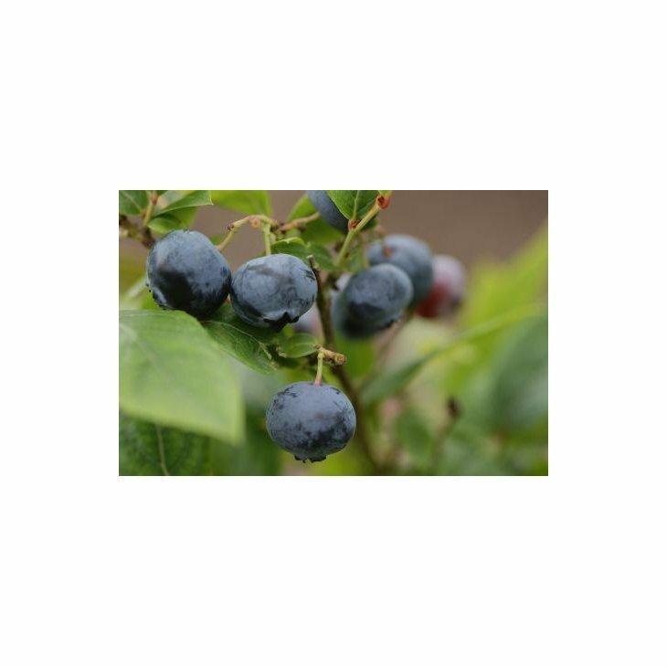 Blåbærbusk storfrugtet  - Vaccinium c. 'Patriot' i 5 l potte