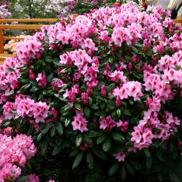 Rhododendron yakushimanum 'Sneezy' i 5 l potte