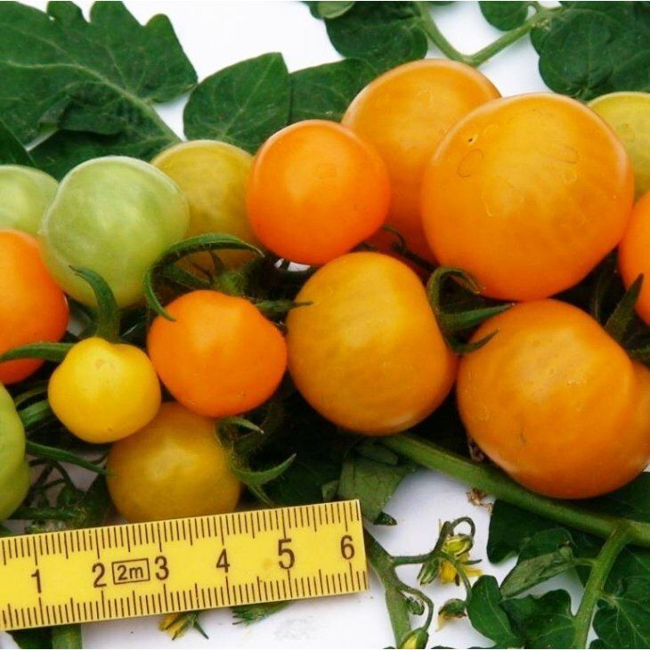 Cherrytomat Goldita