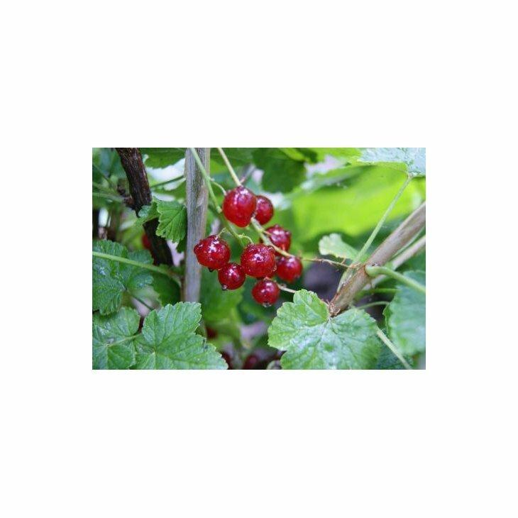 Ribsbusk - Ribes 'Jonkheer van Tets' i 5 l potte