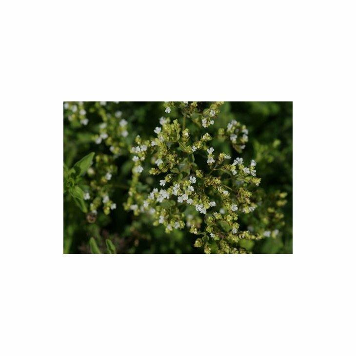 Origanum vul. ssp. hirtum