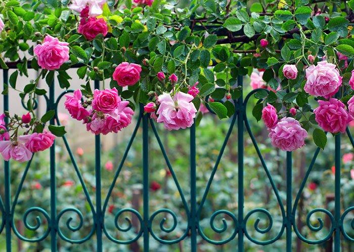 Roser på havegærde