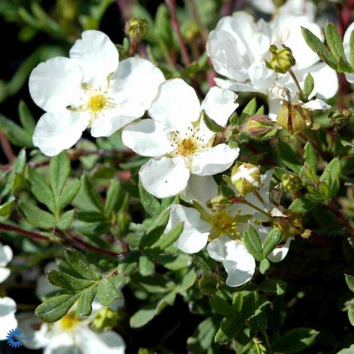 Potentillahæk - Potentilla fruticosa 'Abbotswood' 30-50 cm