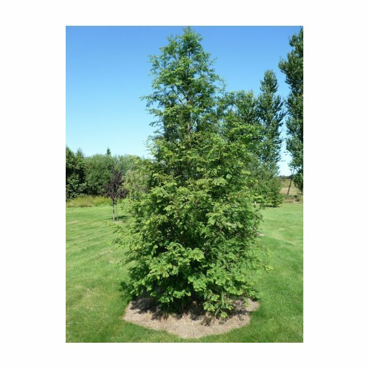 Vandgran - Metasequoia glyptostroboides
