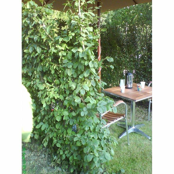Avnbøgehæk - Carpinus betulus 60-100 cm.
