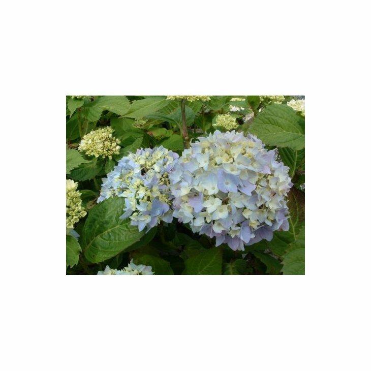 Havehortensia - Hydrangea macr. 'Clara' i 5 l potte