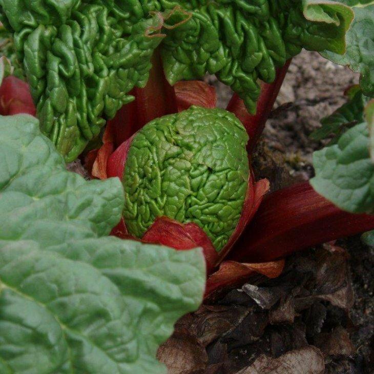 Rabarberplanter sen - Rheum 'Spangsbjerg' i 3,5 l potte
