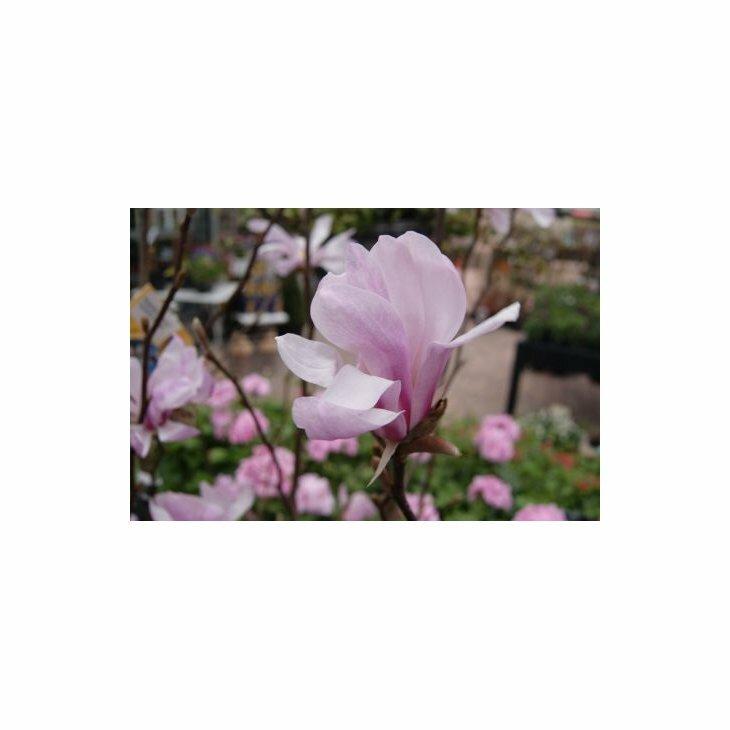 Stjernemagnolia - Magnolia loe. 'Leonard Messel'' i 6 l potte 50-60 cm