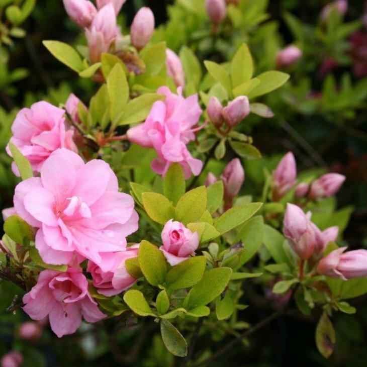 Rhododendron 'Rosebud' i 2 l potte