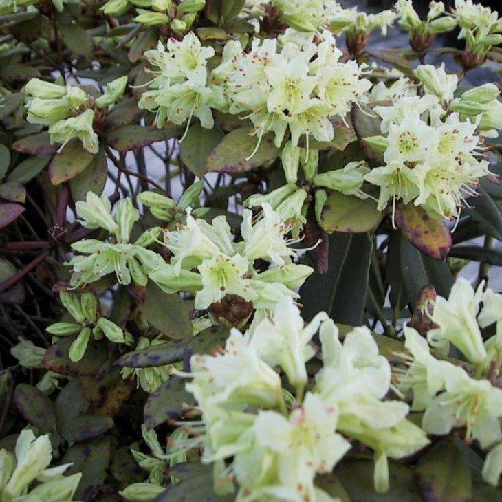 Rhododendron keiskei hybrid 'Shamrock' i 2 l potte