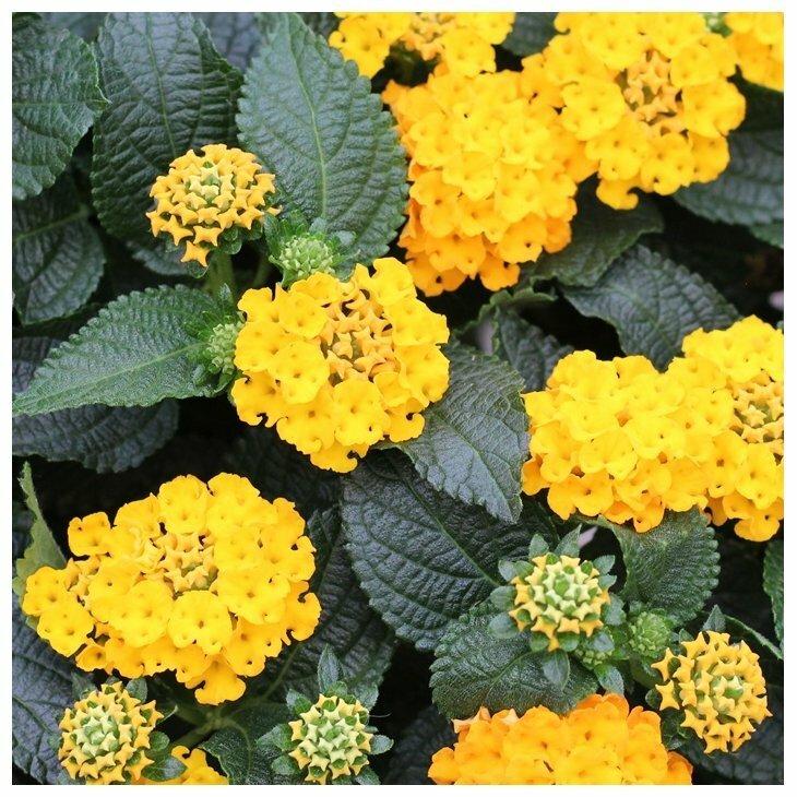 Ildkrone - Lantana camara hybrid i gul og stamme 60-70 cm