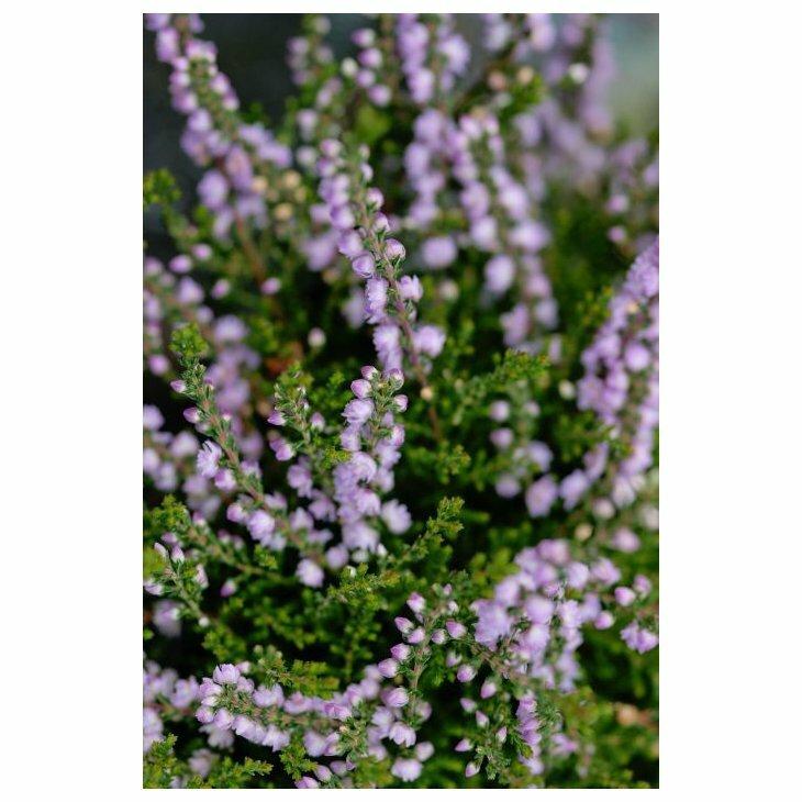 Efterårslyng - Calluna vulgaris 'Radnor'