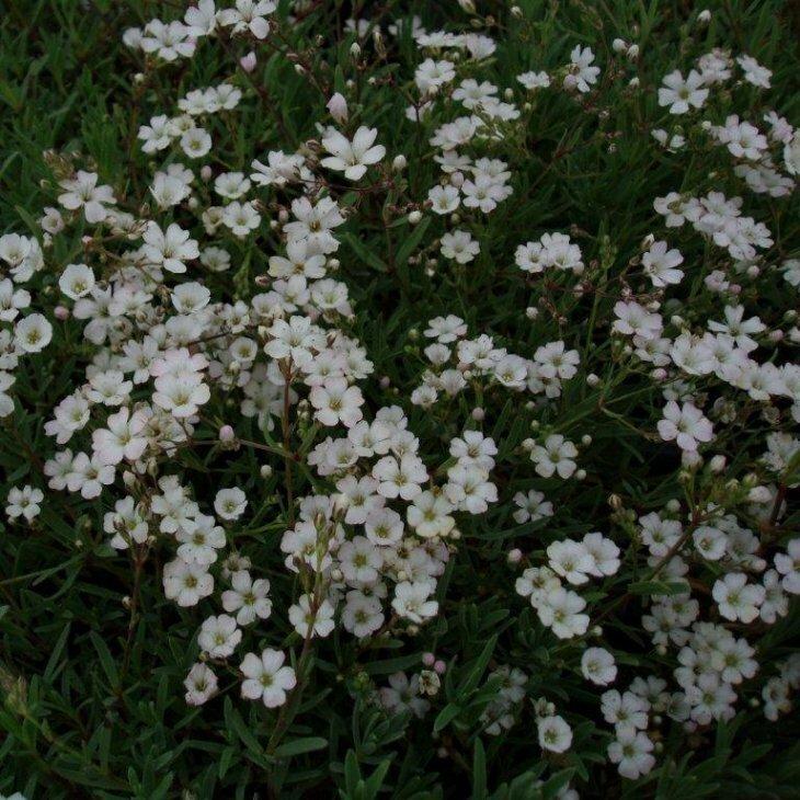 Brudeslør - Gypsophila repens i 1 l potte