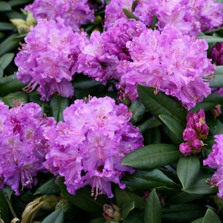 Rhododendron catawbiense 'Alfred' i 5 l potte