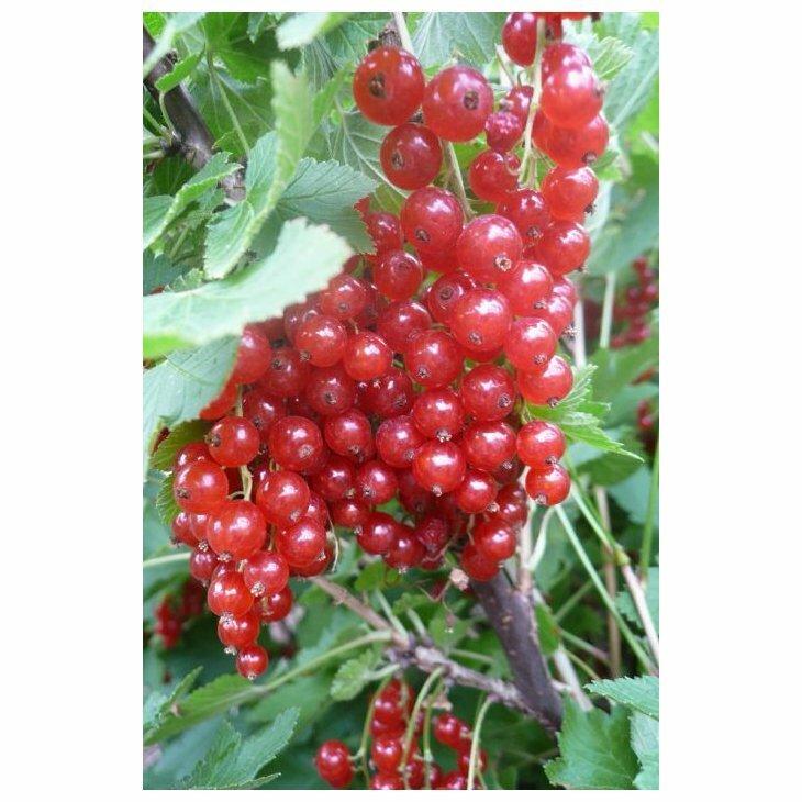 Ribsbusk - Ribes 'Stanza' i 5 l potte