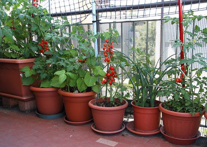 Tomatdyrkning på terrasse