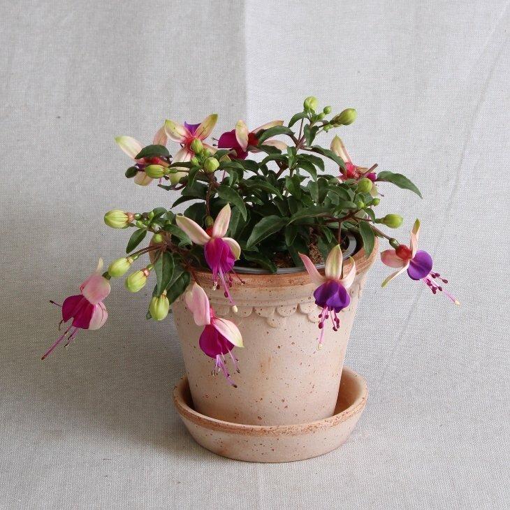 Fuchsia, hængeform, creme med lilla klokke