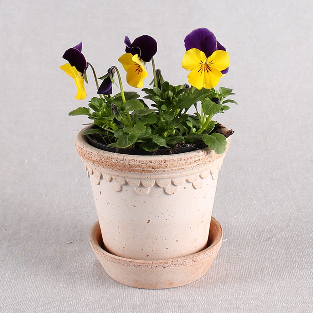 Hornviol - Viola cornuta nr. 9