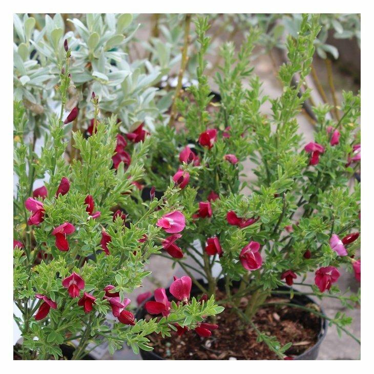 Gyvel - Cytisus scoparius 'Boskoop Ruby' i 5 l potte