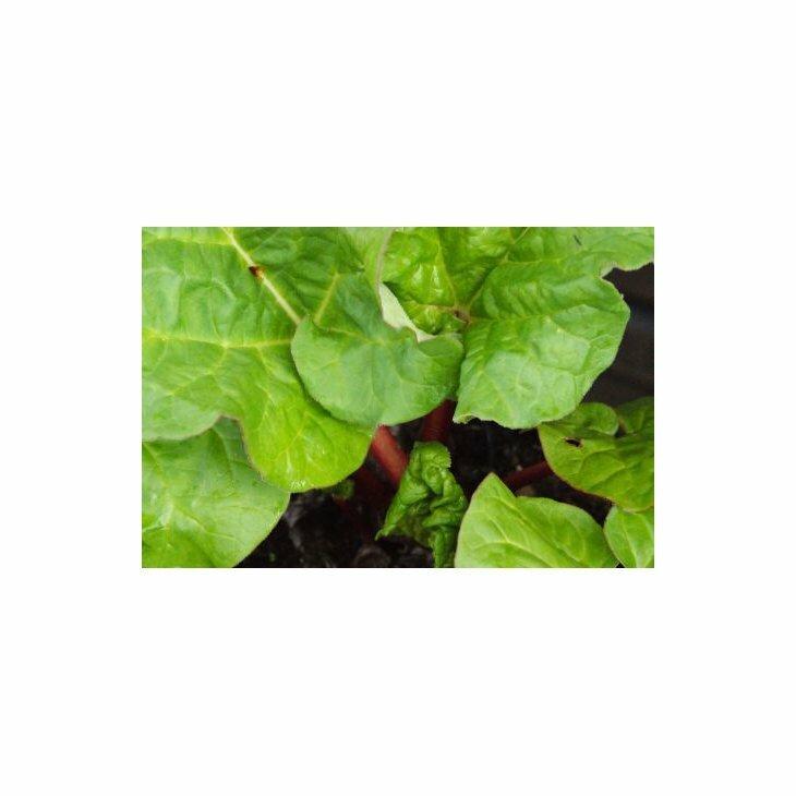 Rabarberplanter middeltidlig - Rheum 'Elmblitz' i 2 l potte